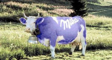 Vom Bildschirm auf den Schlachthof: Das Schicksal der Milka-Kuh!