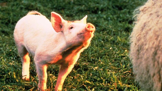 Schweinchen Babe